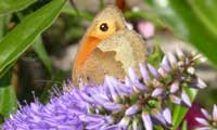 Image of Meadow Brown butterfly on Hebe, June 2004