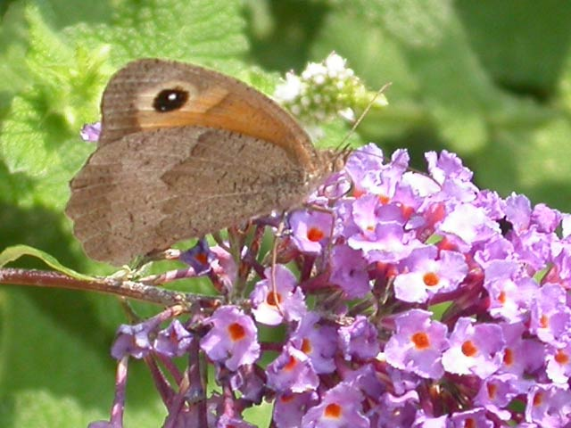 Meadow Brown butterfly on Buddleia