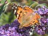 Image of Painted Lady butterfly