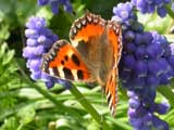 Image of Small Tortoiseshell butterfly