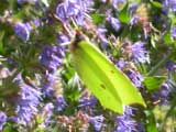 Brimstone butterfly on Lavender