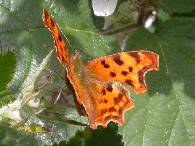 Image of Comma butterfly on Bramble plant