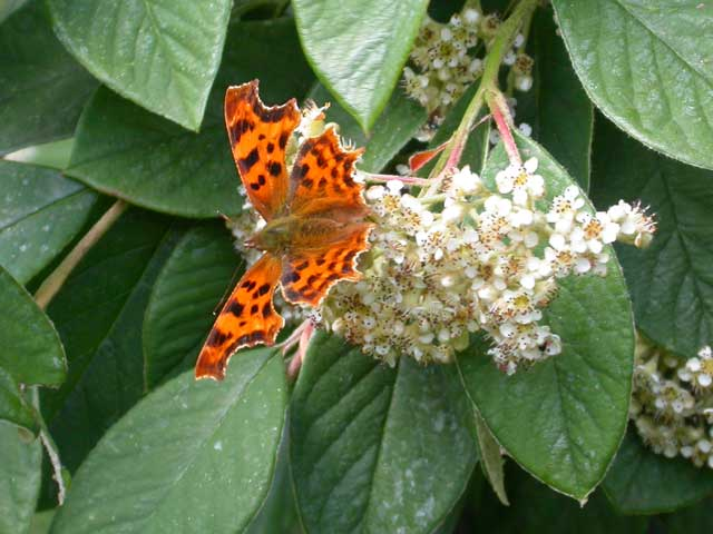 Image of Comma butterfly on Cotoneaster plant