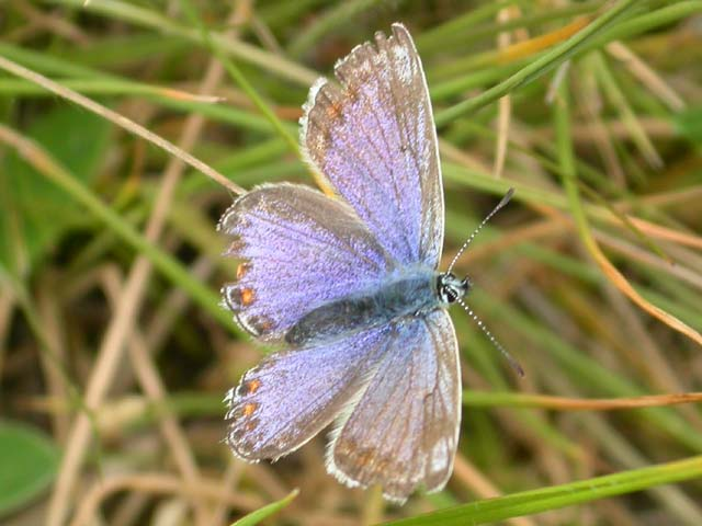 Image of Common Blue butterfly on n/a plant