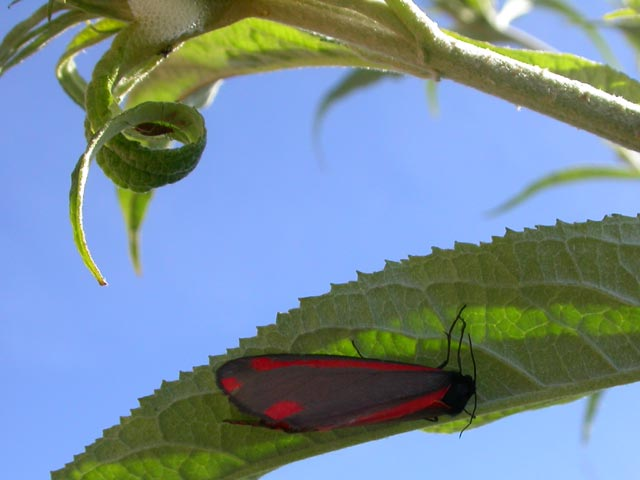Image of Cinnabar moth moth on Buddleia plant