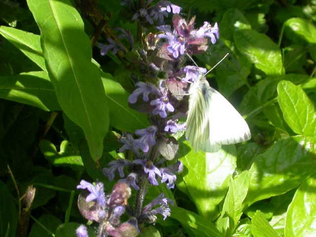 Image of Green-veined White butterfly on Bugle plant