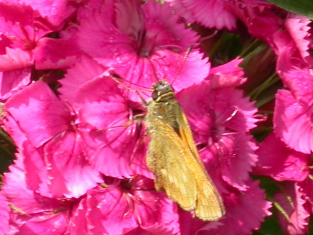 Image of Large Skipper butterfly on Sweet William plant