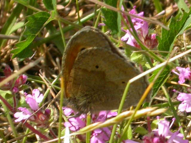 Image of Meadow Brown butterfly on Thyme plant