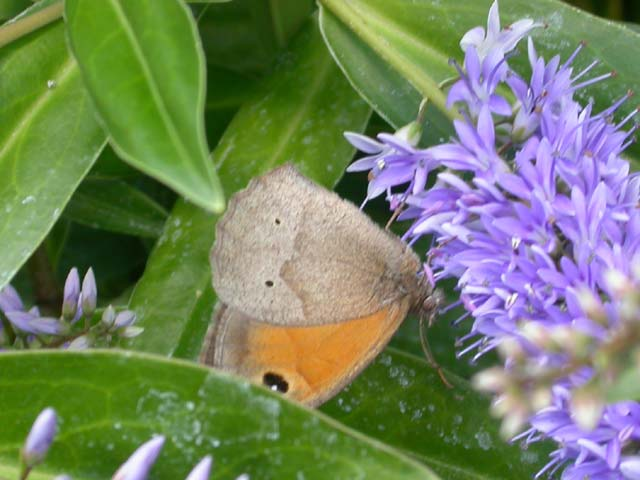 Image of Meadow Brown butterfly on Hebe plant