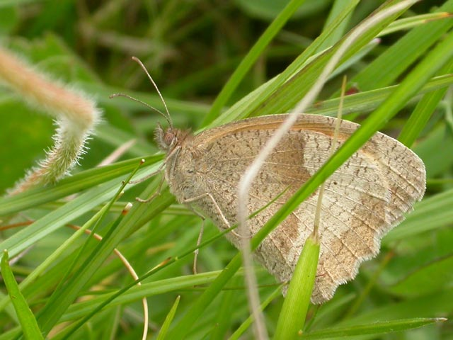 Image of Meadow Brown butterfly