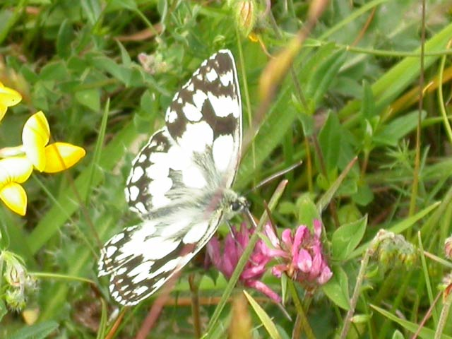 Image of Marbled White butterfly on Ox-eye Daisy plant