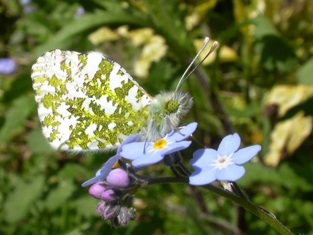 Image of Orange Tip butterfly on Forget-me-not plant
