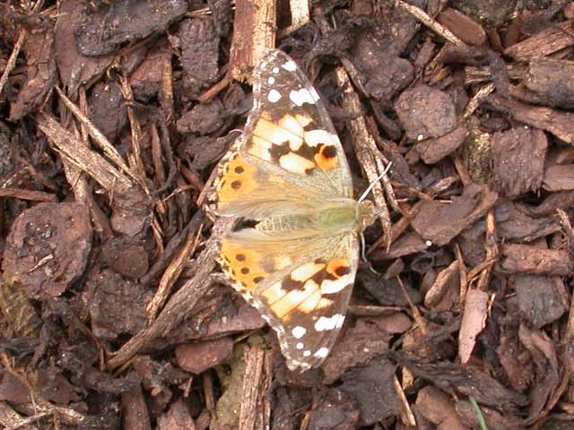Image of Painted Lady butterfly on none plant