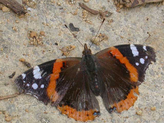Image of Red Admiral butterfly on no plant