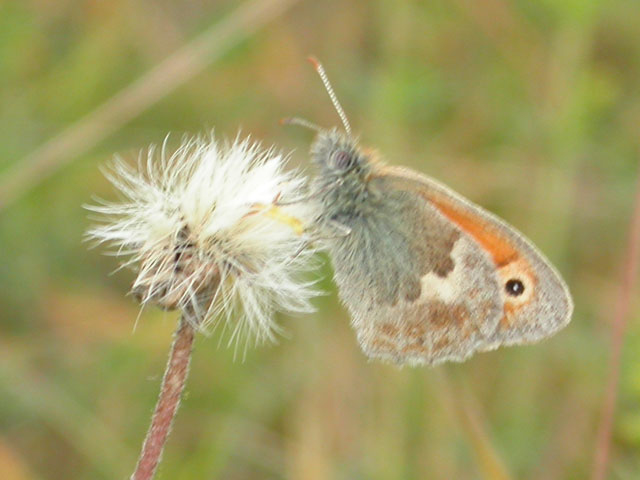 Image of Small Heath butterfly on unknown plant