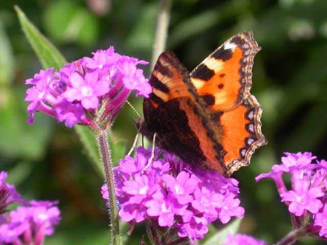 Image of Small Tortoiseshell butterfly on Verbena rigida plant