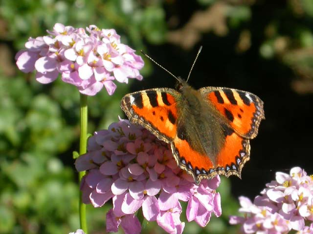 Image of Small Tortoiseshell butterfly on Candytuft plant