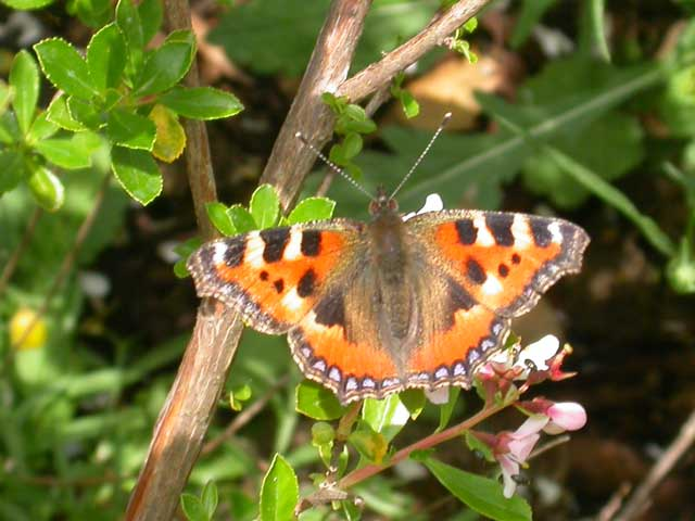 Image of Small Tortoiseshell butterfly on Escallonia plant