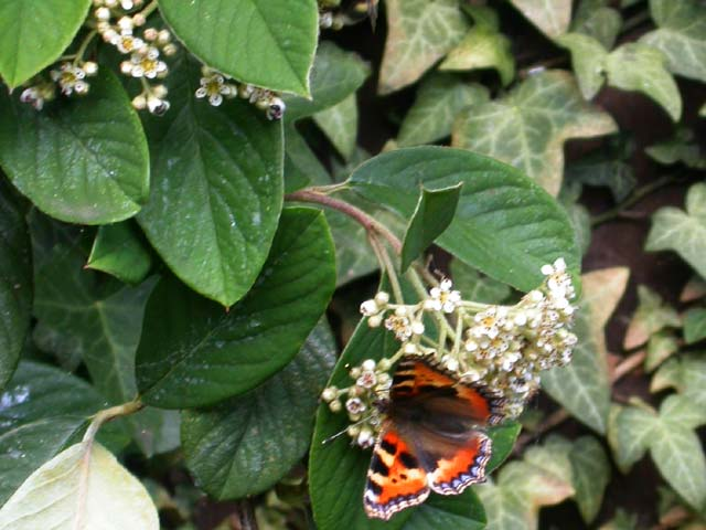 Image of Small Tortoiseshell butterfly on Cotoneaster plant