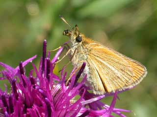 Essex Skipper butterfly