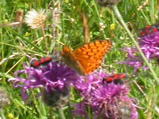 Dark Green (probably) or High Brown (possibly) Fritillary butterfly