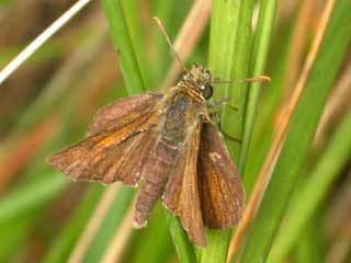 Lulworth Skipper butterfly