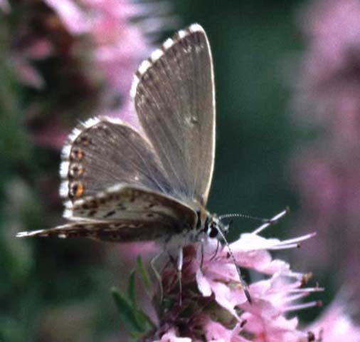Chalkhill Blue butterfly on Hyssop