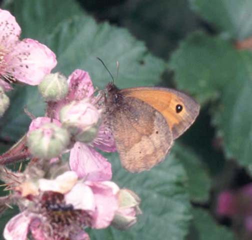 Meadow Brown butterfly on Bramble